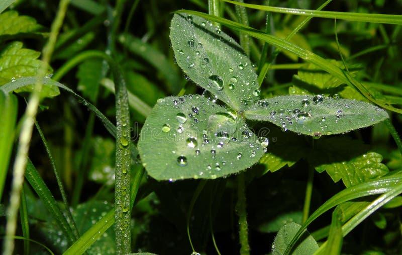 Крупный план клевера с дождевыми каплями на ем, после дождя стоковое изображение rf