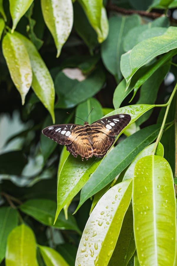 Крупный план коричневых parthenos sylvia сидя на лист стоковое фото rf