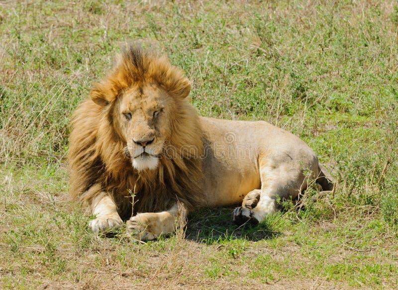 Крупный план короля thew джунглей мужской отдыхать льва стоковая фотография rf