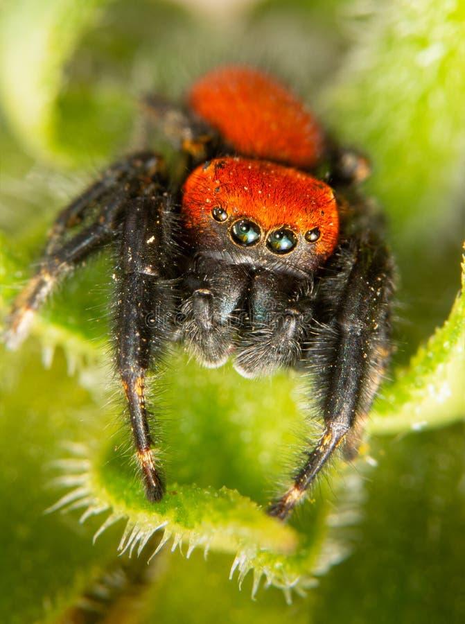 Крупный план красивого яркого красного паука апаша скача стоковое фото rf