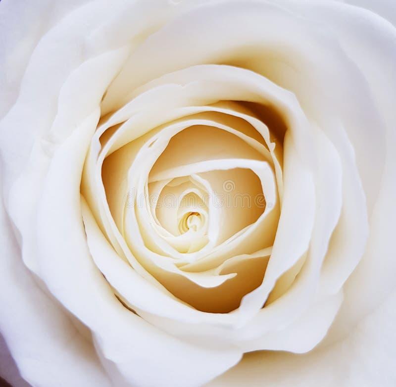 Крупный план красивой белой розы Красота цветков стоковые фотографии rf