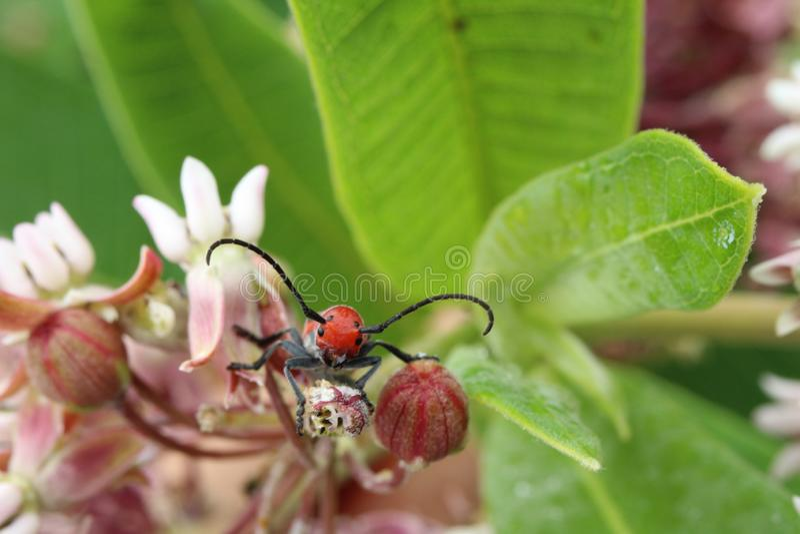 """Крупный план красного chillin жука Milkweed """"на некоторых общих цветках milkweed стоковое изображение rf"""
