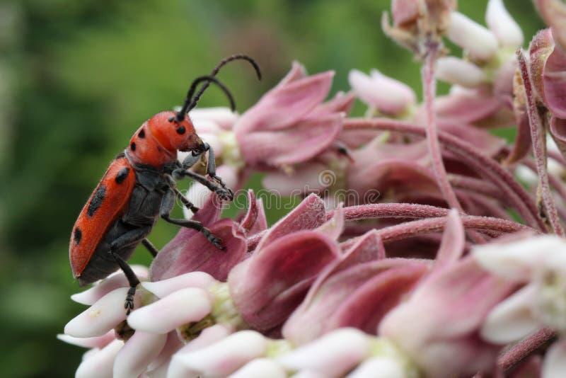 """Крупный план красного chillin жука Milkweed """"на некоторых общих цветках milkweed стоковые фото"""