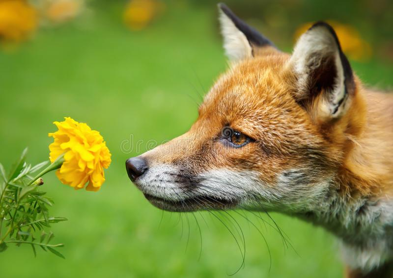 Крупный план красной лисы пахнуть цветком стоковое изображение