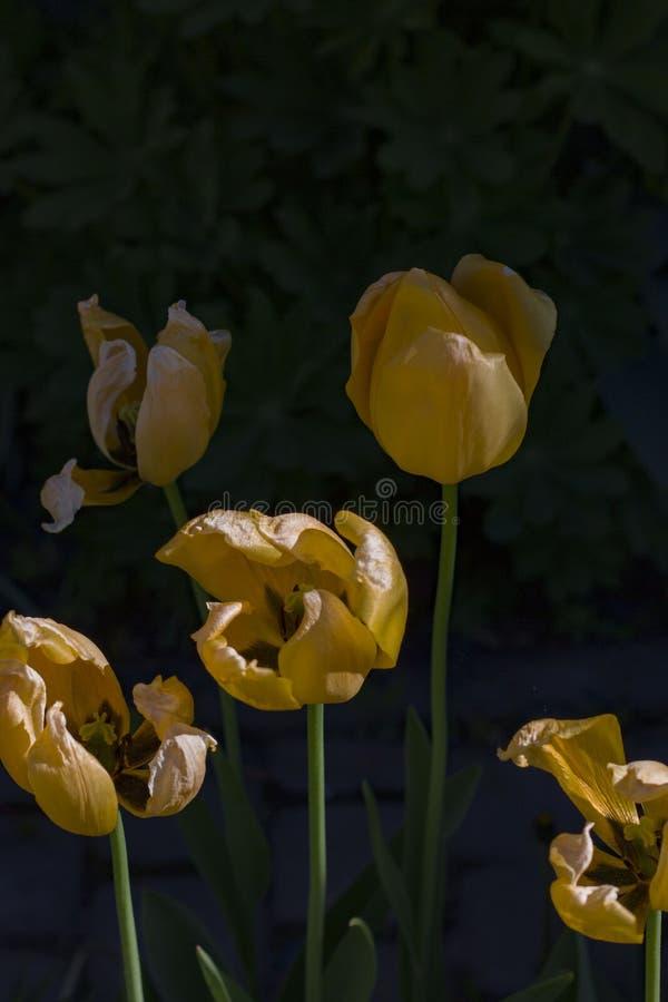 Крупный план красных ярких цветков освещенных по солнцу стоковые фотографии rf