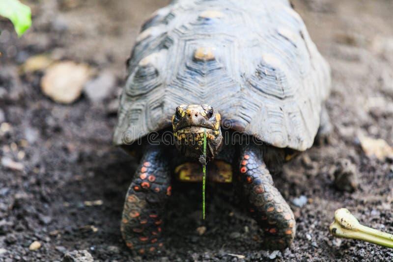 Крупный план красных footed черепах, carbonaria Chelonoidis стоковые изображения