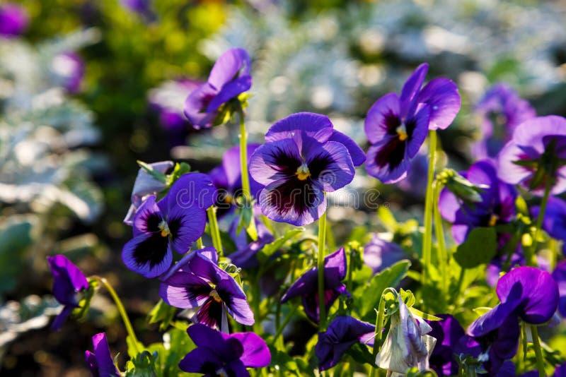 Крупный план красочных цветков цветения желтых и фиолетовых pansy в парке Pansies заводы культивируемые для сада Лето, цветки стоковые фото