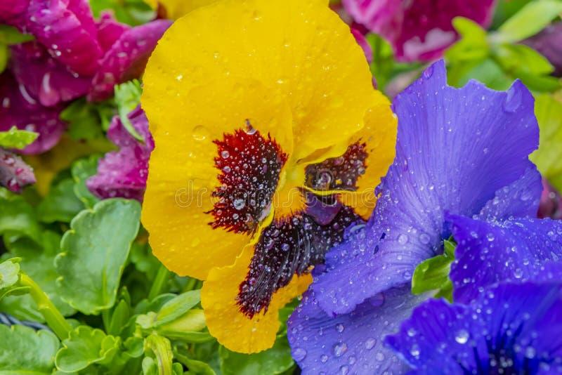 Крупный план красочных pansies с падениями воды после дождя стоковые фото