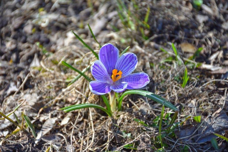 Крупный план крокуса сиротливой весны голубой стоковое изображение