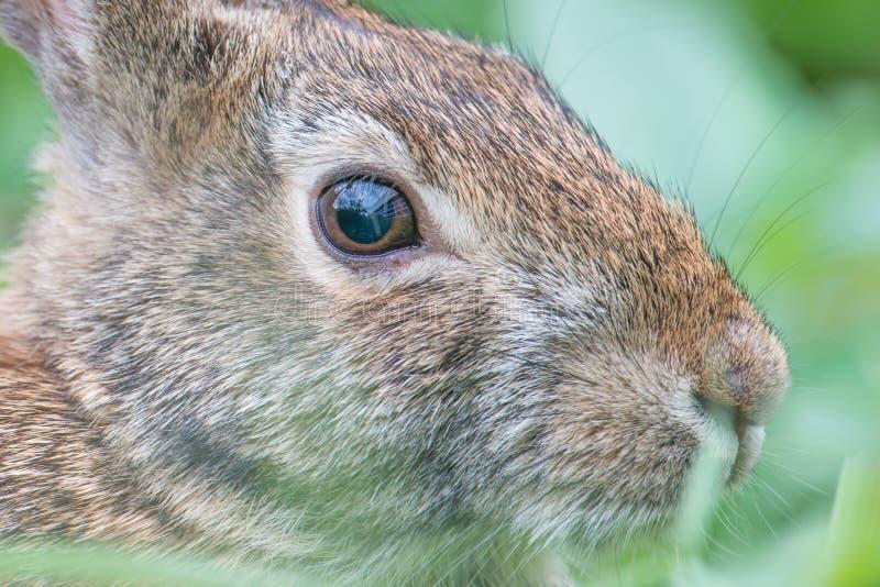 Крупный план кролика восточного cottontail - около реки Минесоты в охраняемой природной территории долины Минесоты национальной стоковое фото