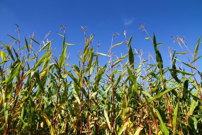 Крупный план кукурузного поля с зелеными листьями и красными черенок против голубого неба на солнечный день Фото принятое от боле стоковое фото