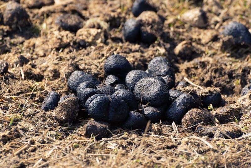 Крупный план кучи позема осла на сухой траве стоковые фото