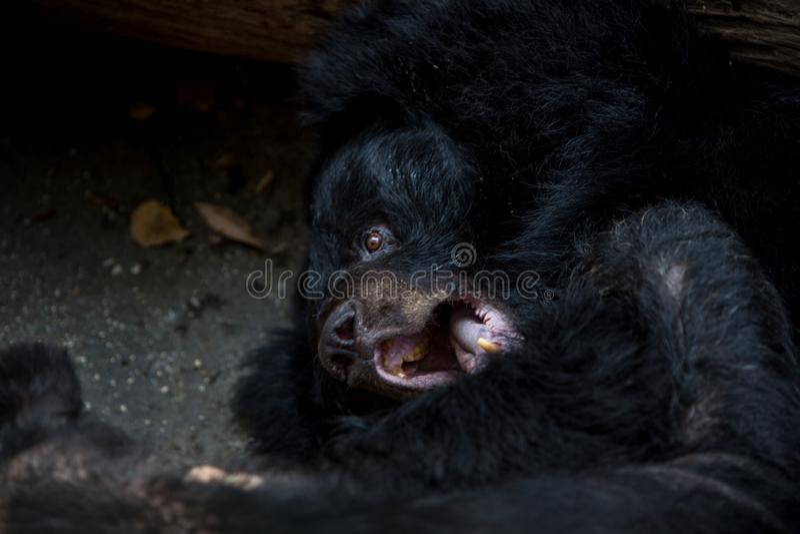 Крупный план к стороне медведя Формоза взрослого черного лежа вниз на лесе стоковое фото rf