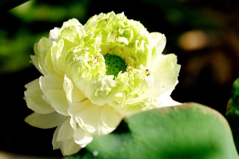 Крупный план к цветку белого лотоса зацветая под теплым солнечным светом утра стоковая фотография