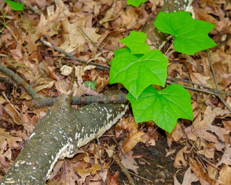 Крупный план листьев зеленого цвета и ветви дерева березы стоковые изображения rf