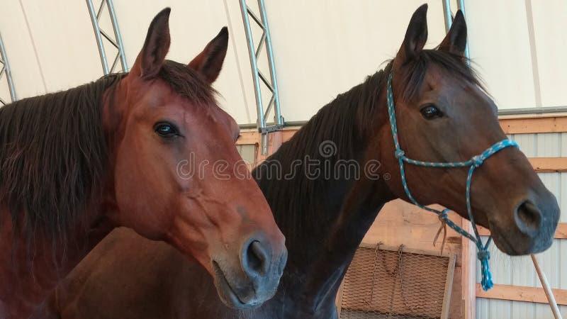 Крупный план 2 лошадей в арене выглядя внешний стоковые фотографии rf