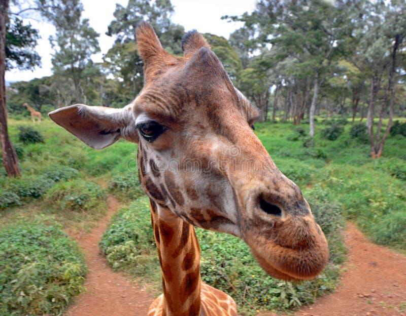 Крупный план любознательного Giraffe головной с природой стоковое фото rf