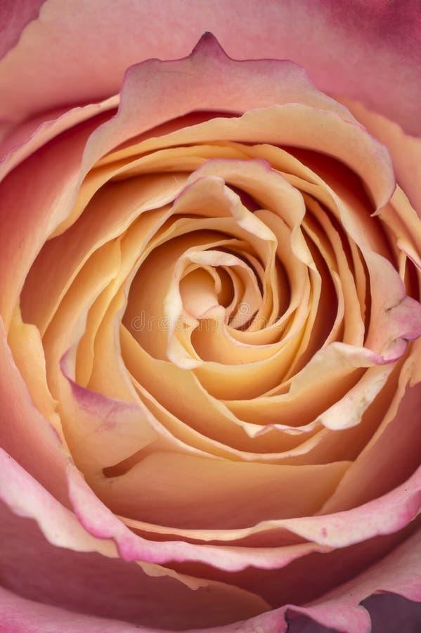 Крупный план макроса светлого - розовая желтая роза стоковое фото rf