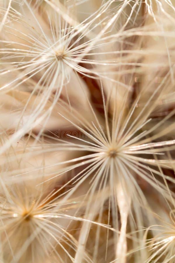 Крупный план макроса семени Danadelion повторил стоковая фотография rf