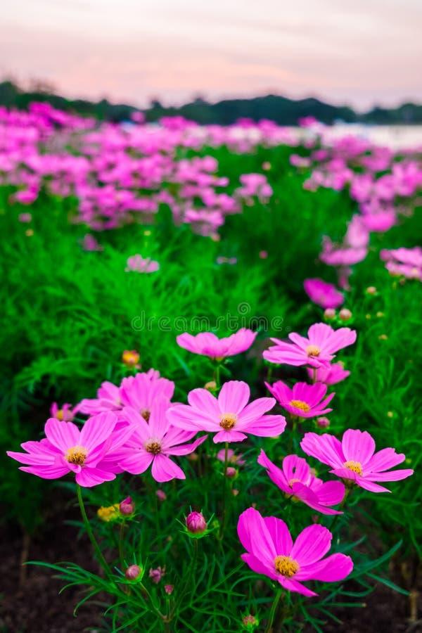 Крупный план на красивых розовых цветках космоса стоковые фотографии rf