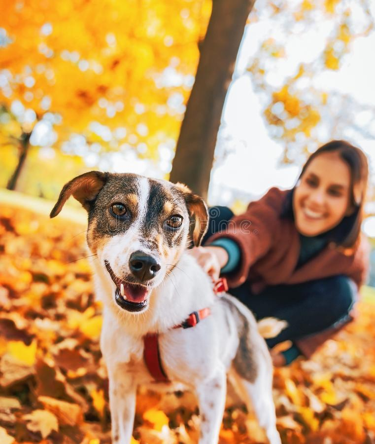 Крупный план на собаке на поводке вытягивая женщину outdoors в осени стоковое фото rf