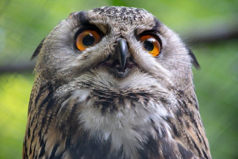 Крупный план на сыче орла стоковая фотография rf