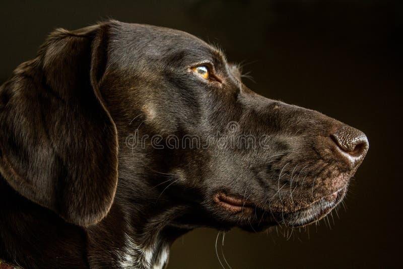 Крупный план немецкой охотничьей собаки указателя Shorthair стоковые изображения rf
