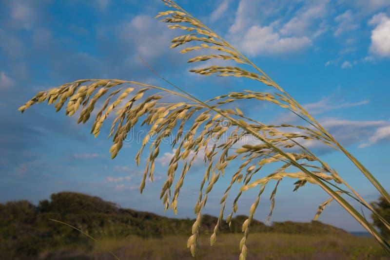 Крупный план овсов моря Флориды стоковая фотография rf
