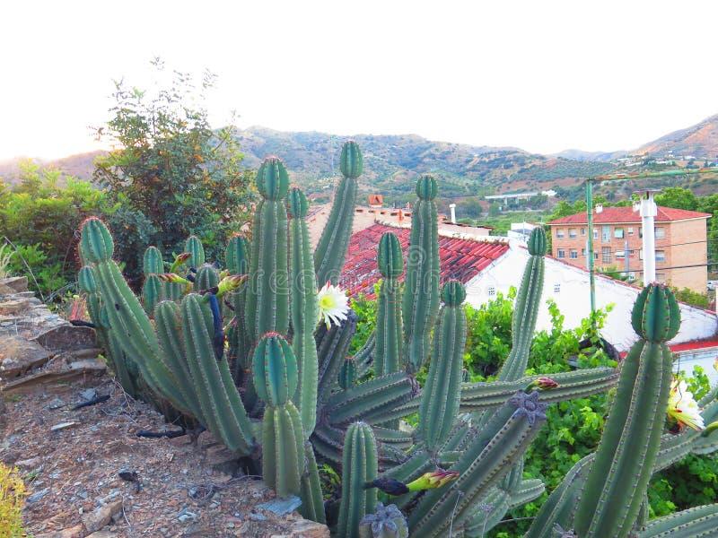 Крупный план отпочковываясь цветков кактуса стоковые изображения rf