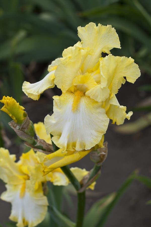 Крупный план палевого и белого красивого свежего цветения цветений радужки стоковые фотографии rf