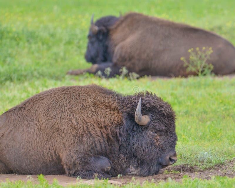 Крупный план пары буйвола в парке штата Custer в Южной Дакоте стоковое фото