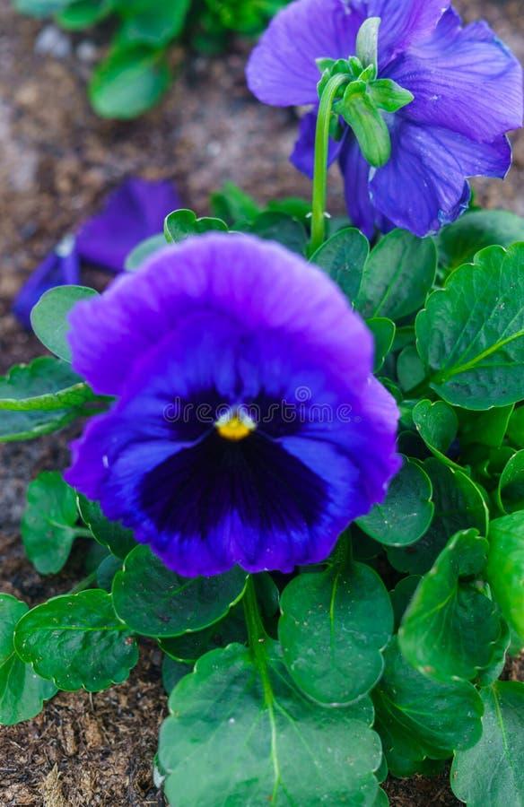 Крупный план пестротканых нежно голубых цветков pansies стоковая фотография rf