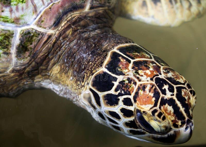 Крупный план плавания черепахи главного в воде на ферме морской черепахи Koggala и инкубаторе, Шри-Ланка стоковые изображения