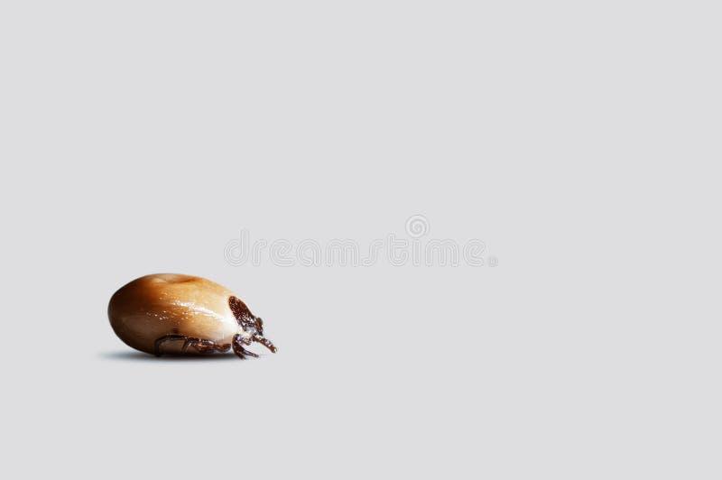Крупный план поглощанного тикания изолированного на белой предпосылке стоковая фотография