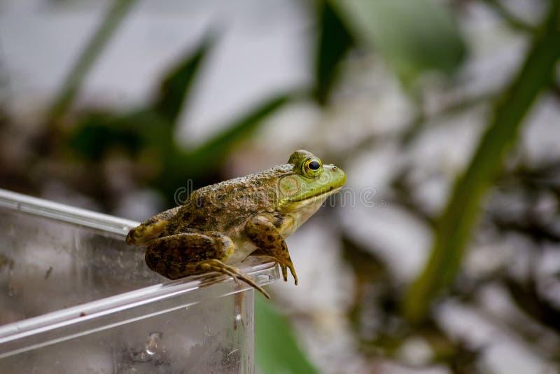 Крупный план положения лягушки на опарнике с естественной запачканной предпосылкой стоковая фотография