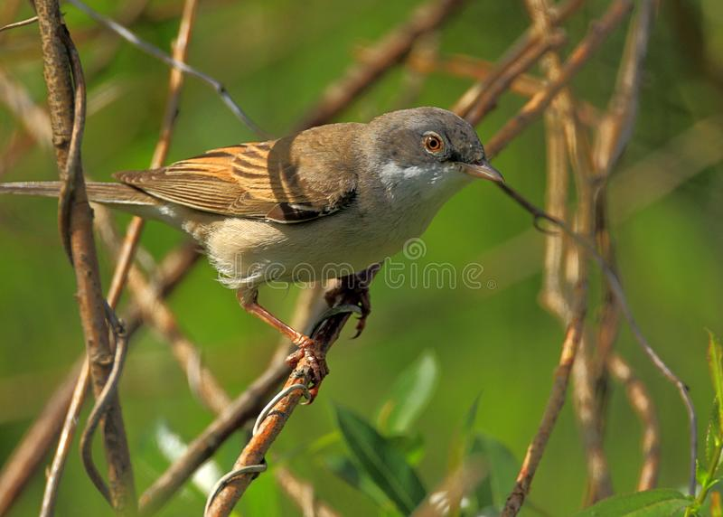 Крупный план птицы Whitethroat в периоде вложенности весны стоковые изображения