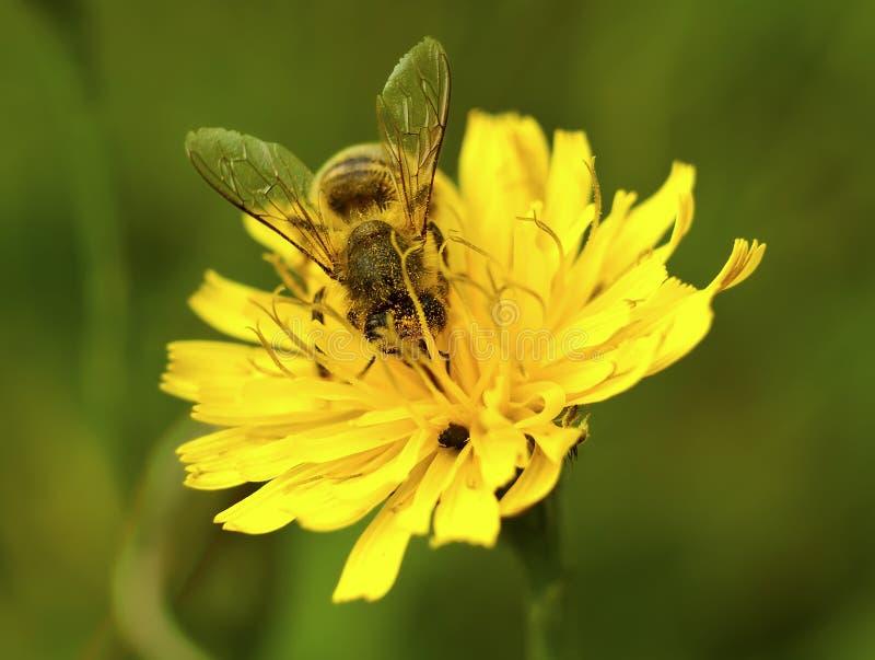 Крупный план пчелы меда на одичалом желтом цветке стоковые изображения rf