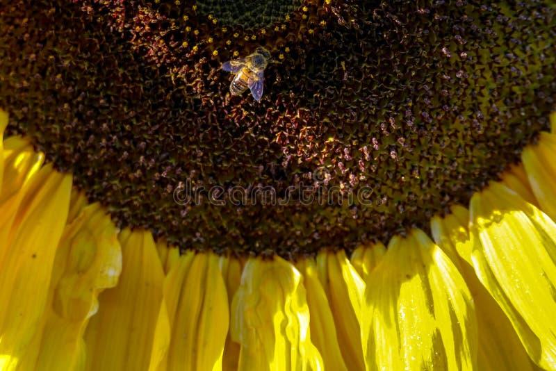 Крупный план пчелы на солнцецвете стоковые изображения