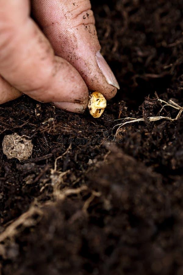 Крупный план, рука со стерженем мозоли sweetcorn засаживая в почве стоковые фотографии rf