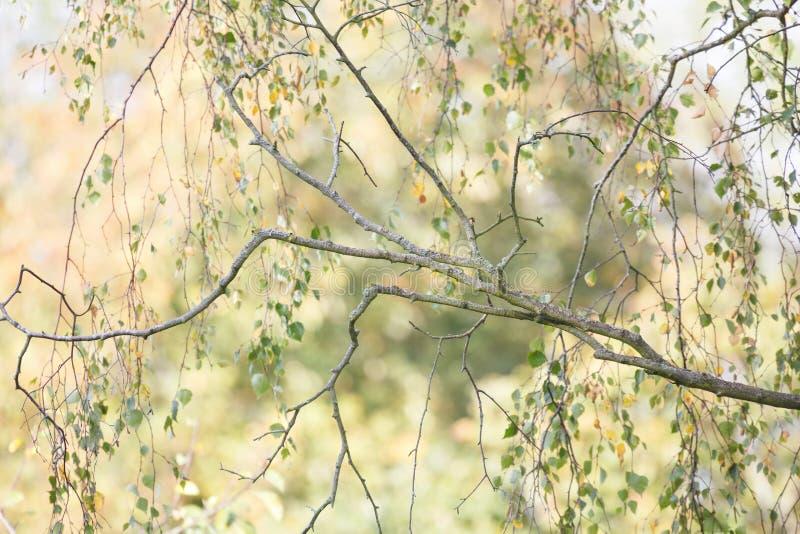 Крупный план серебряной березы в осени стоковое фото