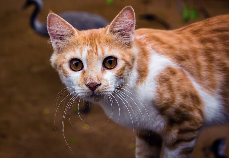 Крупный план снятый азиатского кота стоковая фотография