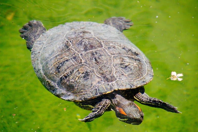Крупный план снятый Красно-ушастого типа плавания черепахи слайдера в воде с зеленой предпосылкой стоковое изображение rf