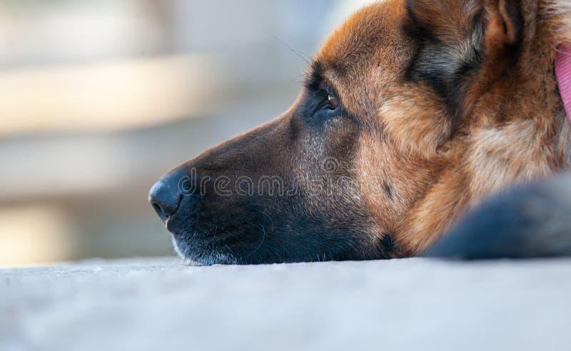 Крупный план собаки немецкой овчарки стоковые фото
