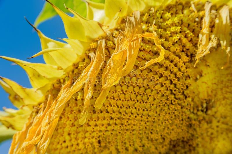 Крупный план солнцецвета стоковые фотографии rf