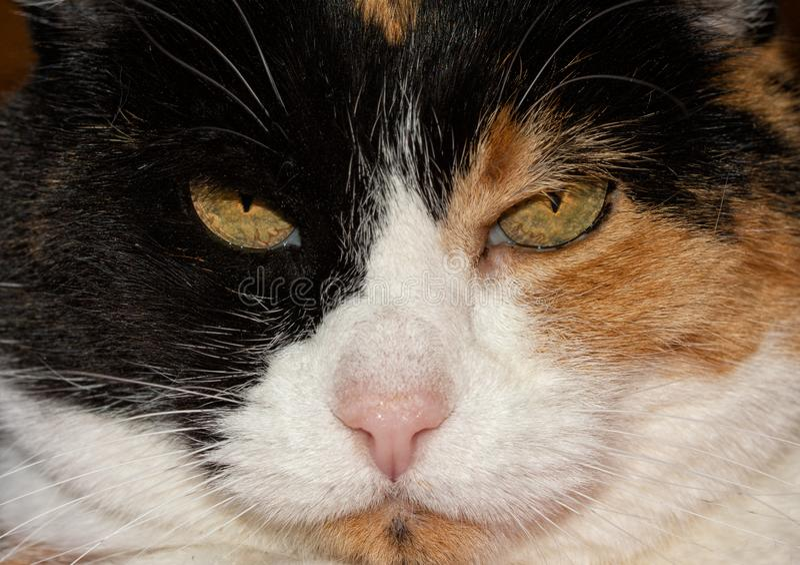Крупный план стороны кота ситца стоковое изображение