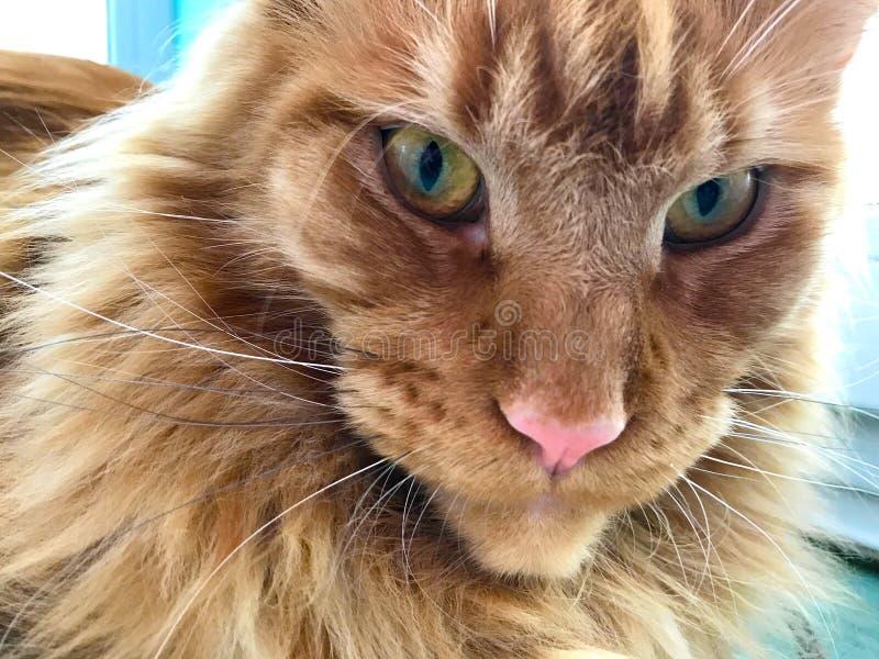 Крупный план стороны красного мраморного кота енота Мейна стоковое изображение