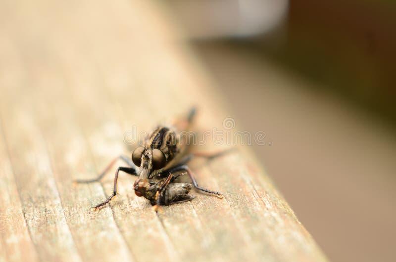 Крупный план стороны мухы убийцы при ноги обернутые вокруг мухы стоковая фотография