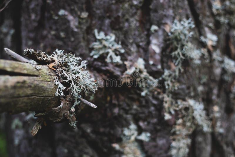 Крупный план сухой ветви сосны стоковые фото