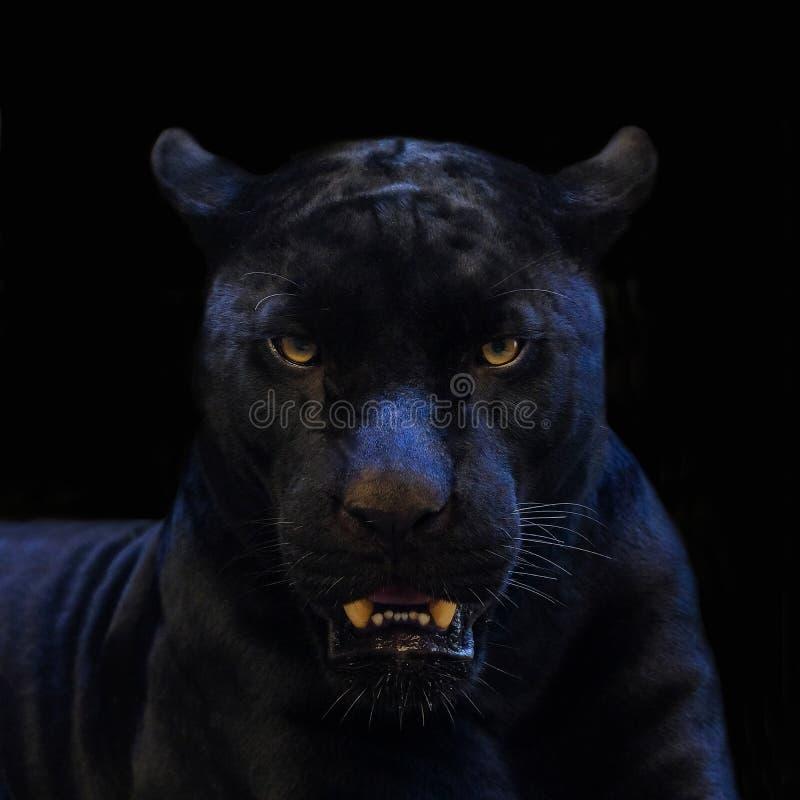 Крупный план съемки черной пантеры с черной предпосылкой стоковое фото rf