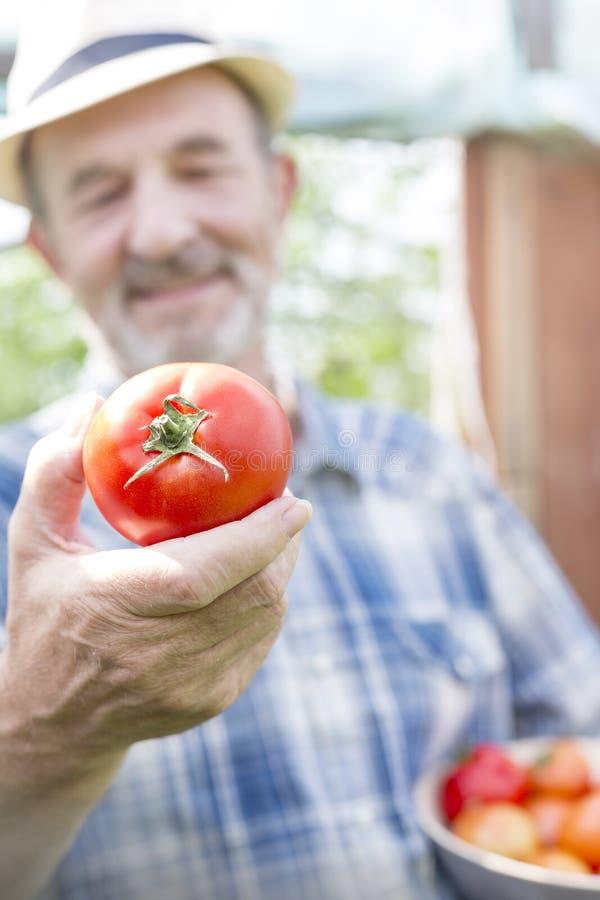 Крупный план фермера держа свежий томат на ферме стоковое изображение